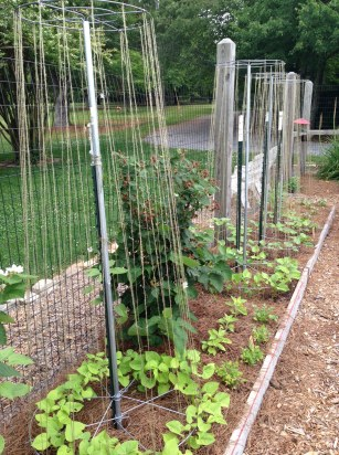 Bean Towers with Rattlesnake Pole Beans and Uncle Frank's Pole Beans.