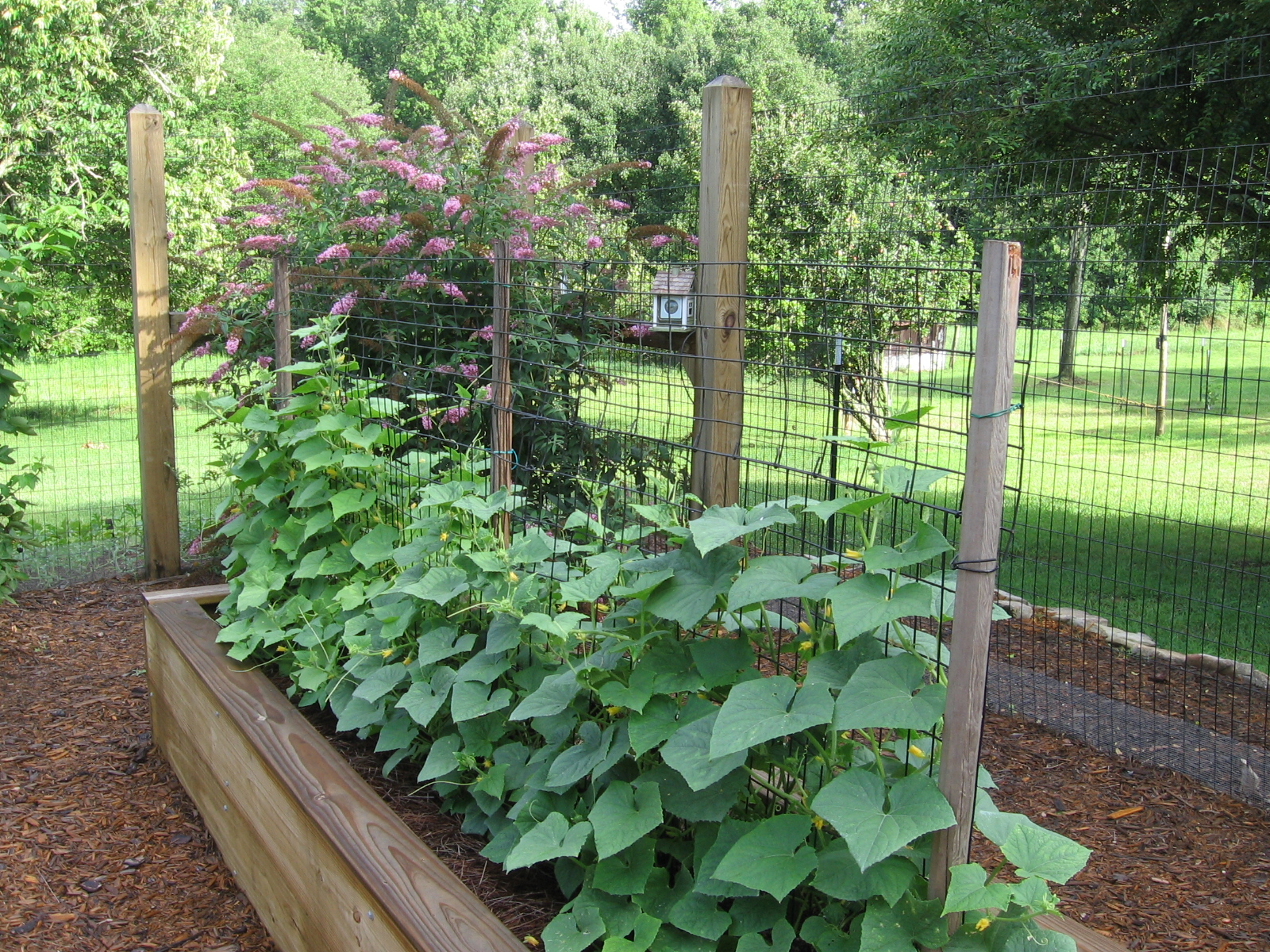 Cucumbers growing on wire fencing to conserve space these are