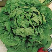 Lettuce-butter-crunch