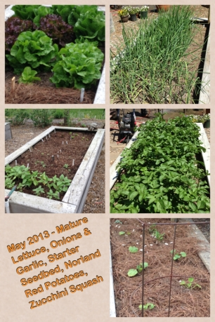 May 2013 Lettuce, Potatoes, Zucchini, Onions & Garlic, Seedbed