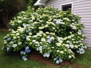 . In our Mentone Garden ... I have NEVER seen more blooms on a Hydrangea ... When they mature I wonder if you will be able to see the leaves for the blooms??? Another picture later??     I have NEVER seen more blooms on a Hydrangea ... When they mature I wonder if you will be able to see the leaves for the blooms??? This mature plant really loves its location.  Another picture later??