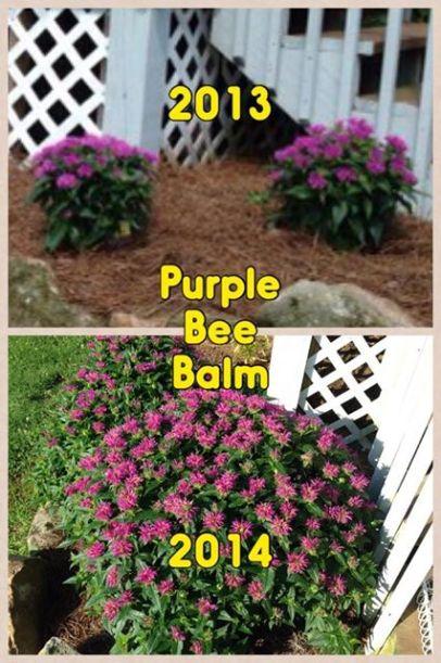 2014 Bee Balm