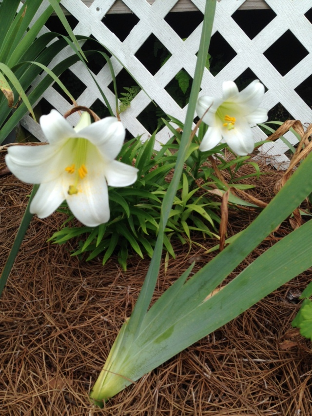 2015 Early White Lily IMG_6526