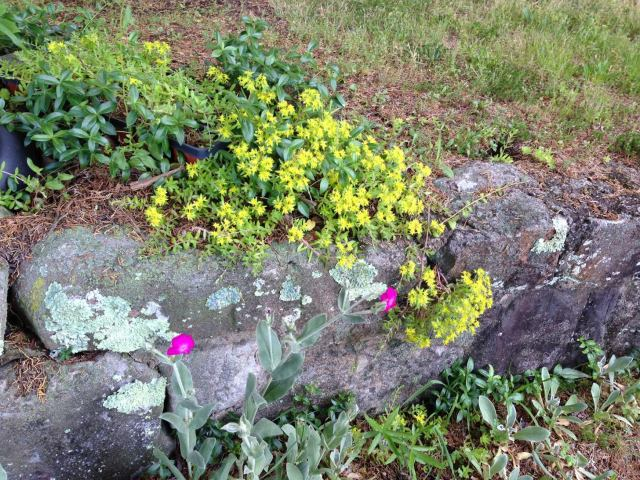 2015 Ground Cover on Rock Wall