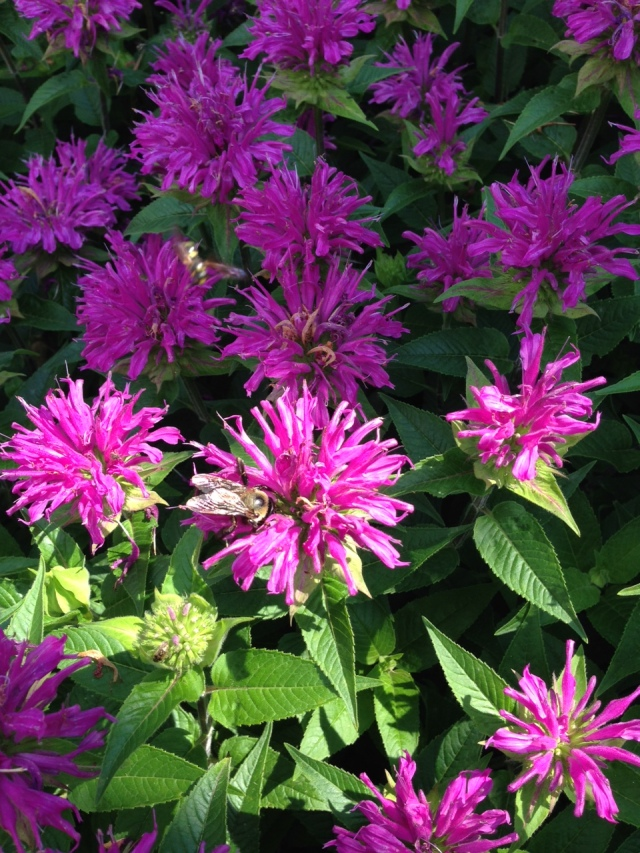 2015 Lavender Bee Balm with Bumble Bee 2 IMG_6548