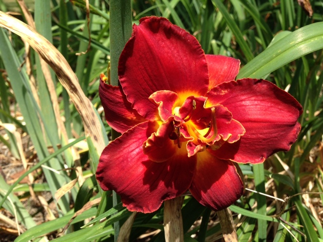 2015 Red Day Lily Closeup  IMG_6607