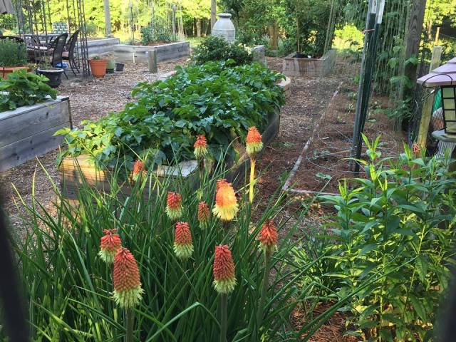 2015 Red Hot Poker fully matured