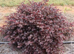 405_Loropetalum_Crimson_Fire_habit