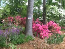 When the Azaleas bloom, they simply outshine everything else!