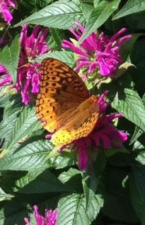 Fritillary Butterfly on Bee Balm - Jim Davenport