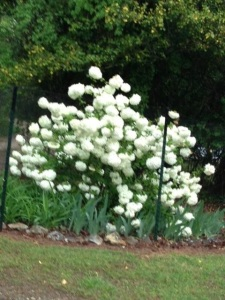Viburnum - Snowball; blooms in the early spring just after the dogwoods and along with flowers such as iris and peonies.