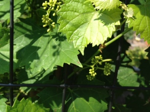 2013-06-22 Muscadines just forming