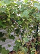 The Spindly Grape Vine