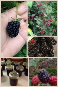 2013 Blackberries - Here's what happens to our blackberries!