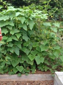 2013 Cucumbers - grown vertically to conserve space