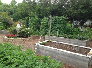 2013 Pole Beans (background) - Norland Red Potatoes (foreground)