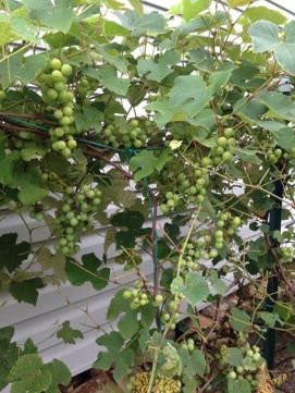 2013 Aunt Bertha's Table Grapes 3 from Facebook Post