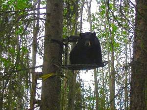 Bear on Deer Stand