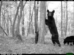 Spotted on Lookout Mountain in 2014 ... Female black bear and two cubs