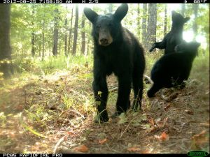Black Bear with Cubs on Lookout