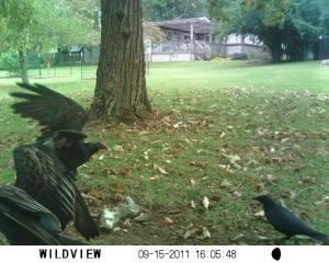 Buzzards and Crow by Jim Davenport - SUNP0011