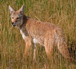 Cyote - ANR-1413_img_0