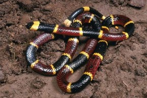 Eastern_Coral_Snake
