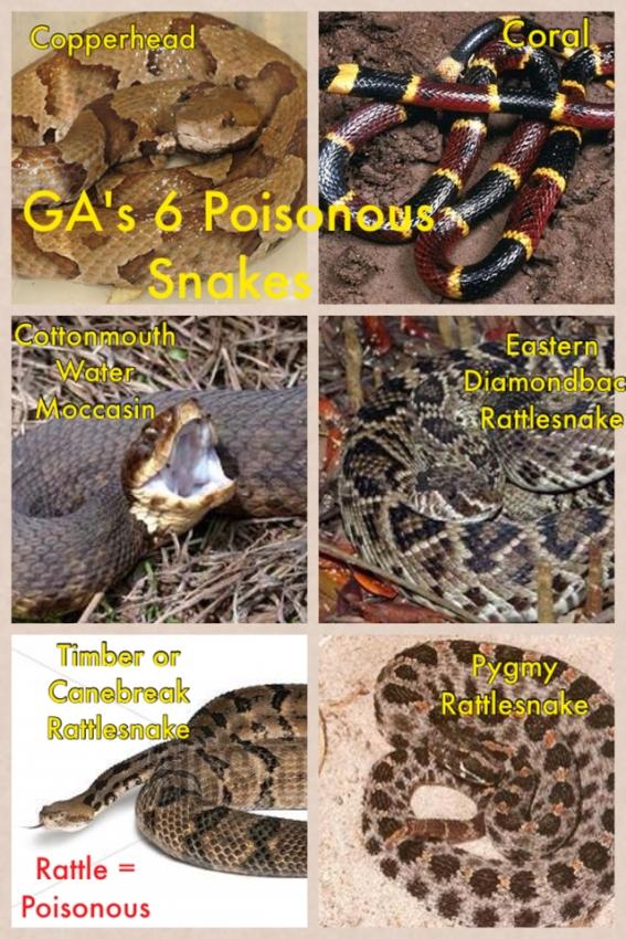 Georgia's Six Poisonous Snakes