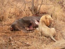 Lion Protecting Kill