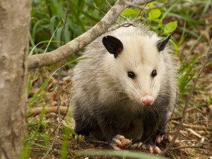 Opossum - North America's only marsupial.