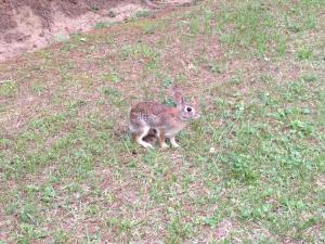 Rabbit - Photo by Angela Chambers
