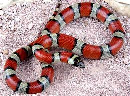 Scarlet King Snake - non-poisonous