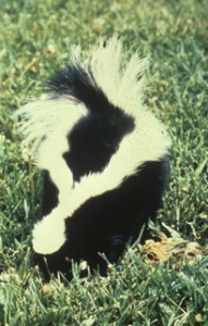 Striped Skunk usfws