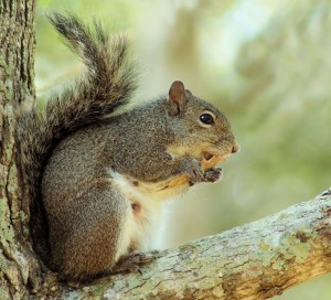 The-gray-squirrel-is-the-most-common-one-found-in-Alabama.-Photo-by-Sherry-Stimpson-Frost-800x726