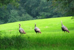 Alabama's wild turkey population now stands at some 400,000, but some biologists and hunters are concerned that numbers are declining in some areas.
