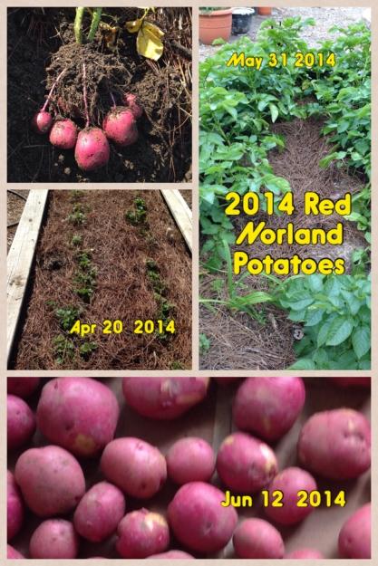 2014 Jun Red Norland Potatoes