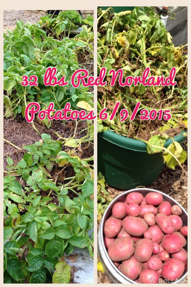 Harvested June 9- delicious Red Norland Potatoes ... 32 pounds from one 30 sq ft bed ... 34 pounds from a 32 sq ft bed - planted 3/7/2015 ... they filled a 5 gallon bucket. Love this little garden!