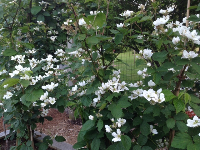 2015 Blackberries Bloom - IMG_6218