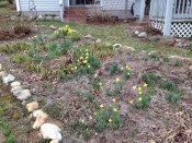 Scattered daffodils are a sure sign that spring is not far away - photos taken Mar 12