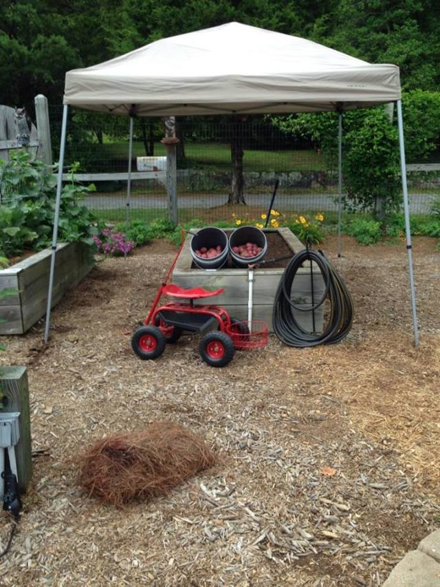 Put up your tent for shade, scoot around the raised bed on your garden scooter and store your potatoes in a five gallon bucket conveniently located at the rear of the scooter ... Now that's the way to garden in the blazing sun!