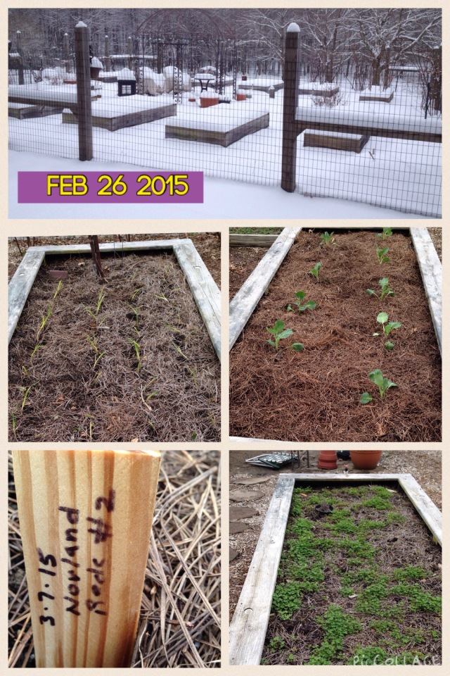 Top - 7-8 inches of snow on February 26 covers the garden Middle Left - planted mustard greens from seeds on Mar 7 Middle Right - Georgia Collards planted Mar 7 Lower Left - Red Norland Potatoes planted Mar 7 Bottom Right - Red Clover planted late October 2014