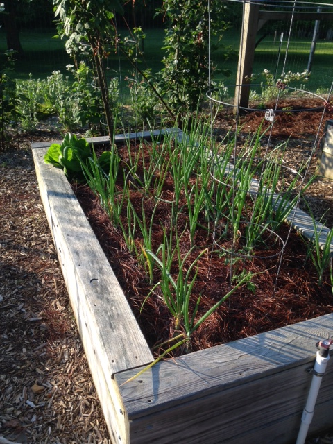 2015 Green Onions - IMG_6220