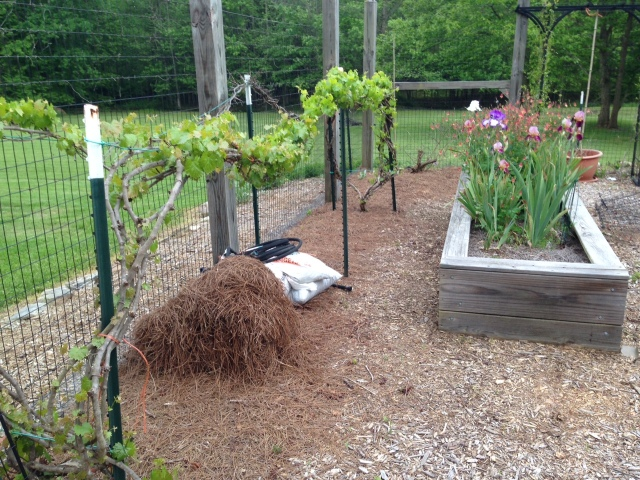 2015 Muscadines early - IMG_6168