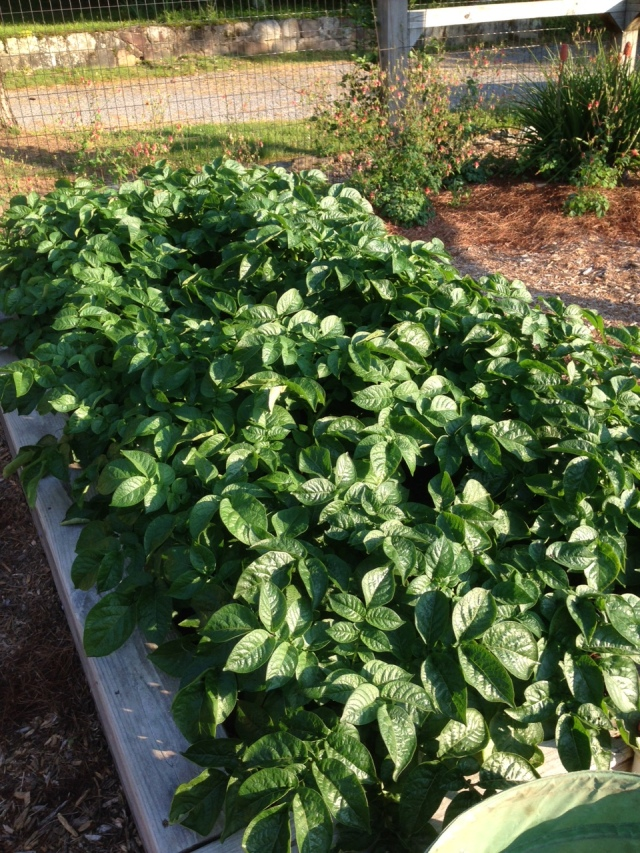 2015 Red Norland Potatoes from seed pots carried over - IMG_6227