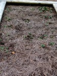 Strawberry Runners transplanted in Fall of 2014