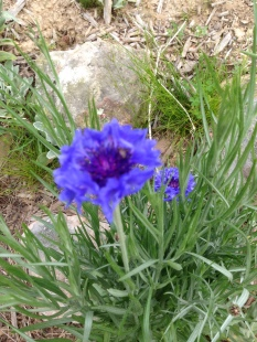 2015 Blue Wildflower - Really Blue