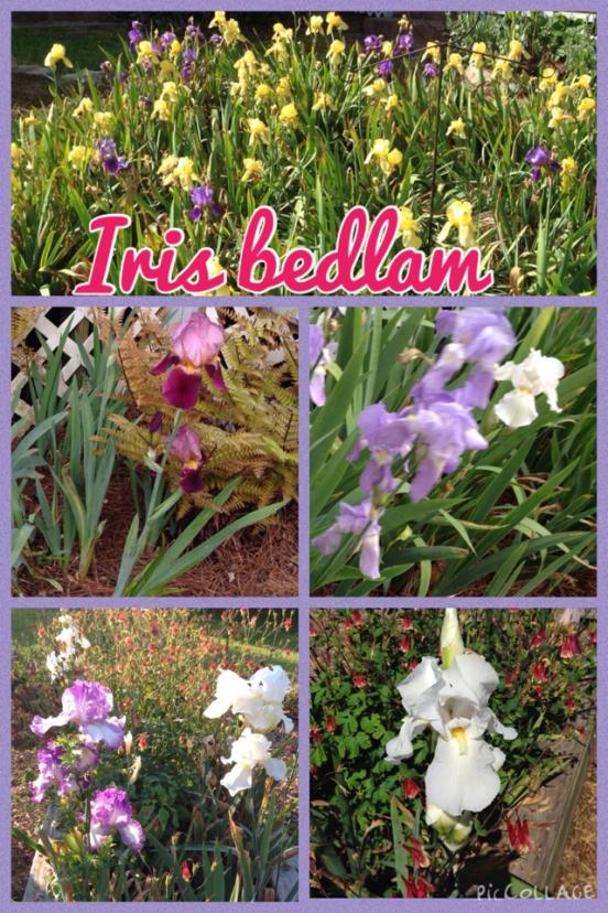 2015 Iris Bedlam