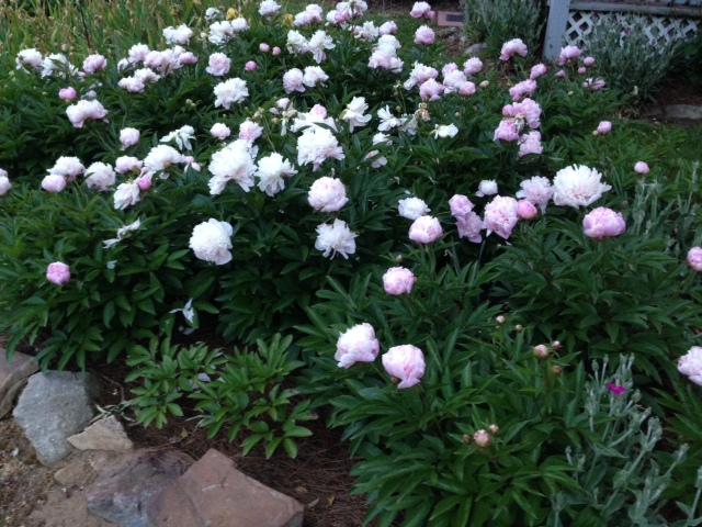 2015 Peonie Bed Begins to Fade
