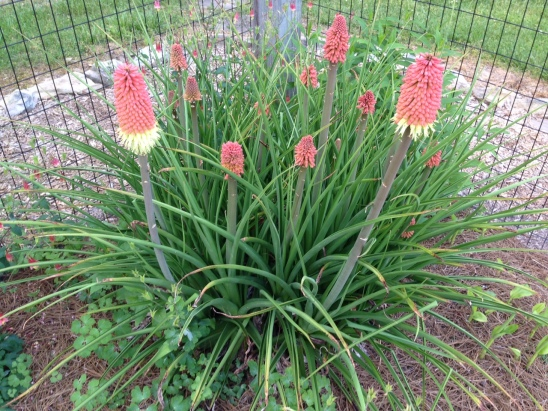 2015 Red Hot Poker Maturing